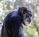 Scimpanzé triste Fotografia Stock Libera da Diritti