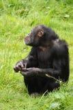 Scimpanzé Fotografia Stock Libera da Diritti
