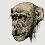 Scimpanzè della scimmia dell'animale domestico, a mano disegno Illustrazione di vettore Fotografia Stock