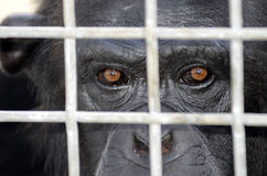 Scimpanzè messo in gabbia Immagine Stock