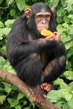 Scimpanzè - Uganda Fotografia Stock Libera da Diritti