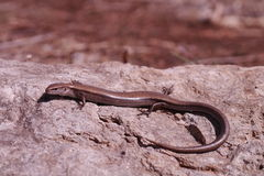 Scincella lateralis - ground skink - Stock Photography