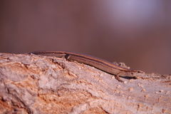 Scincella lateralis - ground skink - Stock Photos