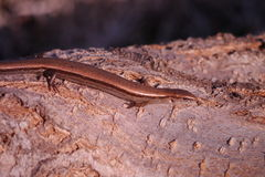 Scincella lateralis - ground skink - Royalty Free Stock Images