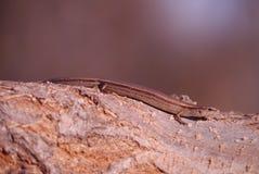 Scincella lateralis - zmielony skink - Zdjęcia Stock