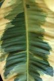 Scindapsus aureus. Stock Images