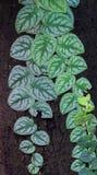Scindapsusmurgröna på trädbakgrund Royaltyfria Bilder