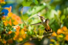 Scintilant Hummingbird - female. Scintillant Hummingbird Selasphorus scintilla - female, Las Tablas, Costa Rica royalty free stock photo