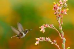 Scintillant колибри, scintilla Selasphorus, крошечная птица, самый малый колибри от Коста-Рика, сцены действия подавая следующий  Стоковое Изображение