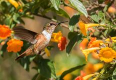 Scintillant Hummingbird Selasphorus scintilla. Close up side view of a tiny female green orange and white hummingbird flying near colorful orange and yellow stock photos
