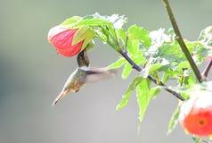 Scintillant Hummingbird Selasphorus scintilla Female. Visiting a hibicus flower stock image