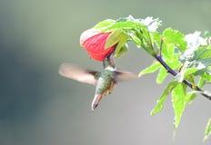 Scintillant Hummingbird Selasphorus scintilla Female. Visiting a hibicus flower royalty free stock photo