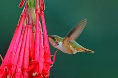 Scintillant Hummingbird, Selasphorus scintilla, tiny bird in the nature habitat. Smallest bird from Costa Rica flying next to beau. Tiful flower stock images
