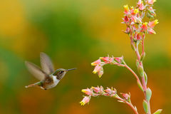 Scintillant Hummingbird, Selasphorus scintilla, tiny bird, smallest hummingbird from Costa Rica, action feeding scene next tu beau Stock Image