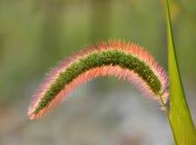 Scintillare Weed Fotografia Stock