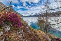 Sciolga in alte montagne con i fiori della molla ed il lago congelato metà, Fotografie Stock