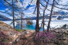 Sciolga in alte montagne con i fiori della molla ed il lago congelato metà, Fotografia Stock Libera da Diritti