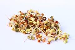 Scions Sprouting Foto de Stock