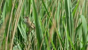 Scirpaceus för Reed Warbler fågelAcrocephalus) som sjunger arkivfilmer
