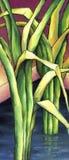 Scirpus εγκαταστάσεων παράκτιος-νερού ελεύθερη απεικόνιση δικαιώματος