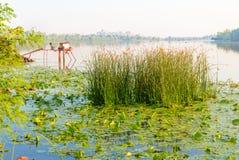 Scirpus nel fiume di Dnieper a Kiev fotografia stock