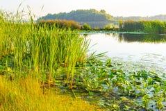 Scirpus nel fiume di Dnieper a Kiev fotografie stock