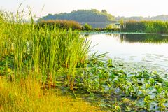 Scirpus no rio de Dnieper em Kiev fotos de stock