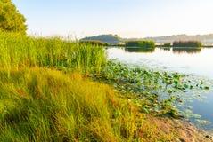 Scirpus no rio de Dnieper em Kiev foto de stock