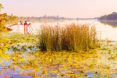 Scirpus in the River Stock Image