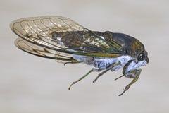 Scissor molar Cicada Fotografering för Bildbyråer