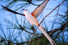 Scissor o papa-moscas da cauda Imagem de Stock Royalty Free