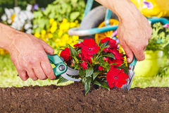 Scissor and shovel on a red flowers plant Stock Photos