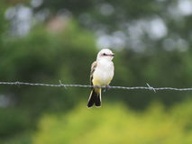 Scissor tail flycatcher, baby or young Royalty Free Stock Photo