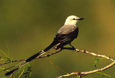 Scissor-tailed Flycatcher Royalty Free Stock Images
