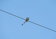 Scissor-tailed Flycatcher bird on a wire Stock Images