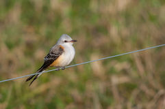 Scissor-tailed Flycatcher Stock Images