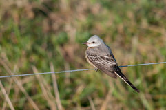 Scissor-tailed Flycatcher. Perched on a wire fence stock images