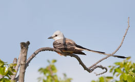 Scissor-tailed Flycatcher sitting in a persimmon tree Royalty Free Stock Image