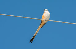 Scissor-tailed Flycatcher Stock Photo