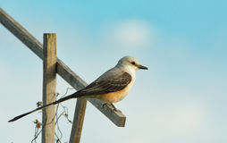 Scissor-tailed Flycatcher sitting on a stick Stock Image