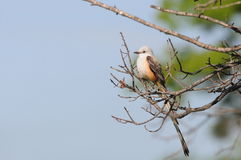 Scissor-tailed Flycatcher Royalty Free Stock Image