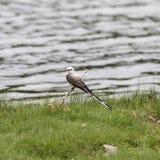 Scissor-tailed flycatcher stock images