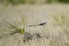 Scissor-tailed Flycatcher, Tyrannus forficatus Royalty Free Stock Photo