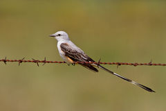 Scissor-tailed flycatcher (Tyrannus forficatus). Scissor-tailed flycatcher, also known as Texas Bird-of-Paradise, perched on barbed-wire Stock Photo
