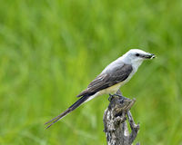 Scissor-tailed Flycatcher Royalty Free Stock Photos