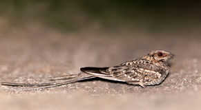 Scissor-tailed Nightjar (Hydropsalis torquata). Patagonia, Argentina, South America Royalty Free Stock Photo