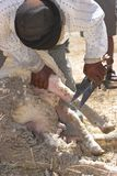 Scissors. For shearing sheep by hand Stock Image