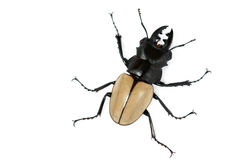 Scissors beetle. A  kind of  beetle look like the strong plyer bite sugarcane on white background Stock Photo