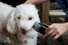 Scissors bitande hår för groomeren av den lilla vita hunden Fotografering för Bildbyråer