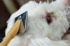 Scissors bitande hår för groomeren av den lilla vita hunden Arkivfoton